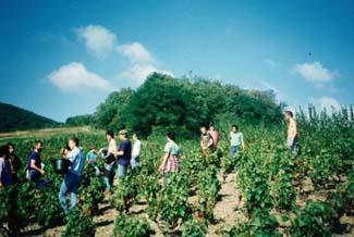 frankrijk druiven plukken